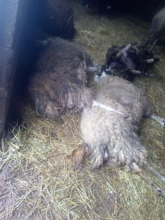 Dževad za jednu noć izgubio stado ovaca, petočlana porodica ostala bez izvora prihoda (FOTO)